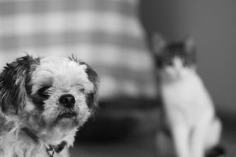 Как избежать конфликта между кошкой и собакой